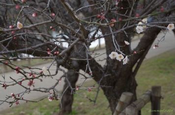 ほとんど蕾の白梅