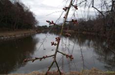 池の真ん中にある枝垂れ梅