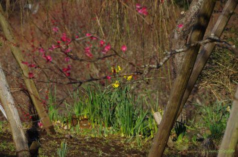 紅梅と黄水仙