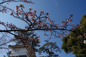 常盤木門下の寒緋桜