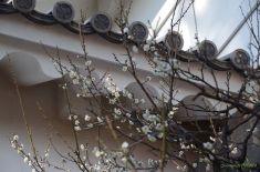 常盤木門の白梅
