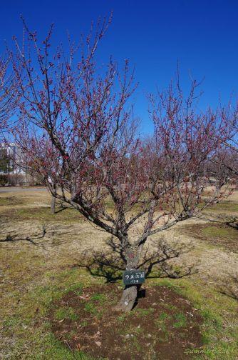 つぼみが膨らんでいた木