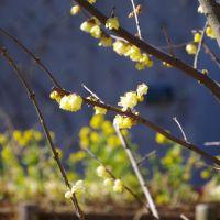 蝋梅と菜の花2015@北総花の丘公園