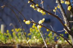 蝋梅と菜の花