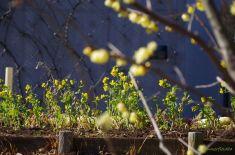菜の花と蝋梅