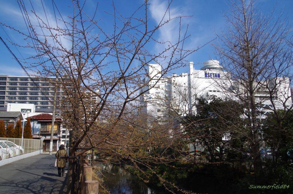 河津桜2015>開花近し@松戸宿坂川 (1/5)