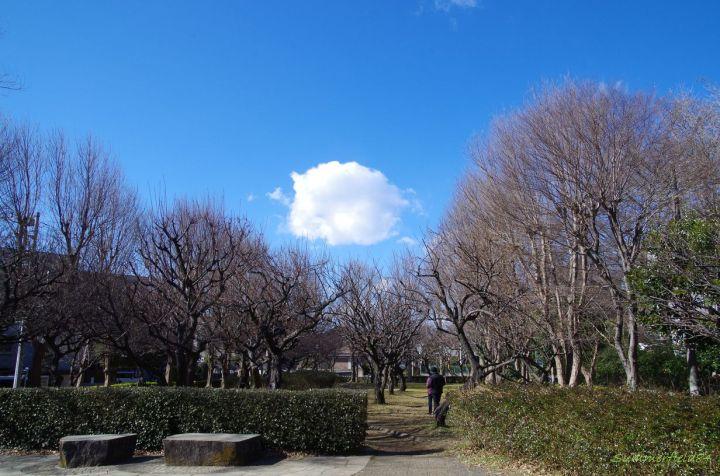 じゅんさい池緑地公園北部(矢切駅側)の梅園はまだ