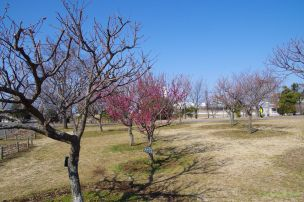 目立つ早咲きの紅梅