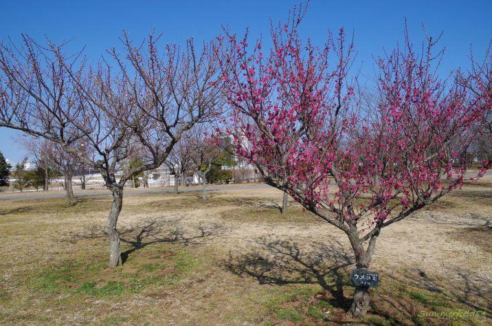 隣の白梅も咲き始め