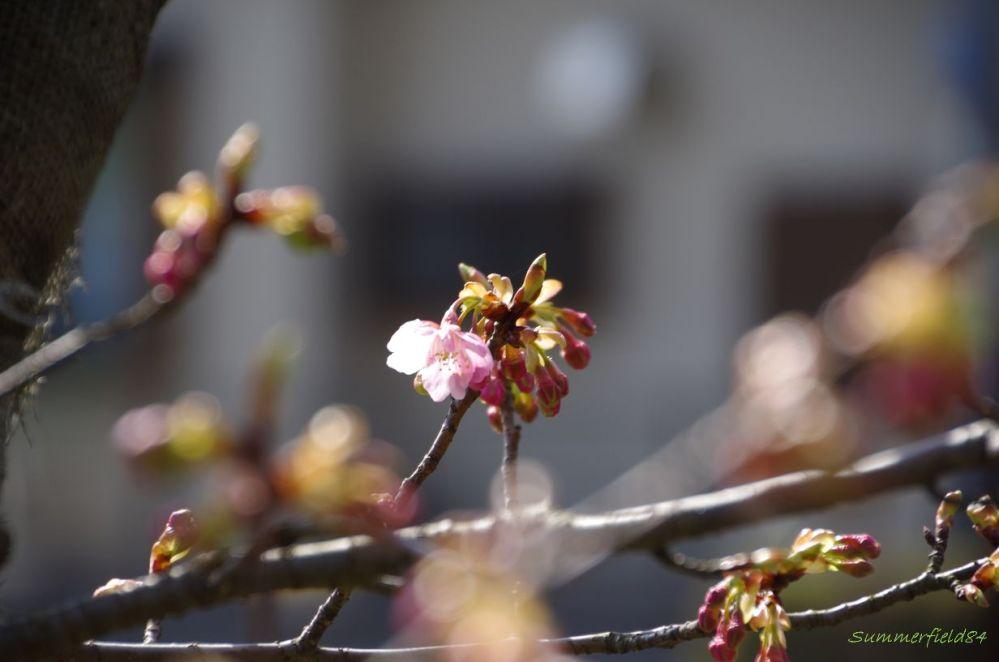 河津桜2015>開花!@松戸宿坂川 (2/6)