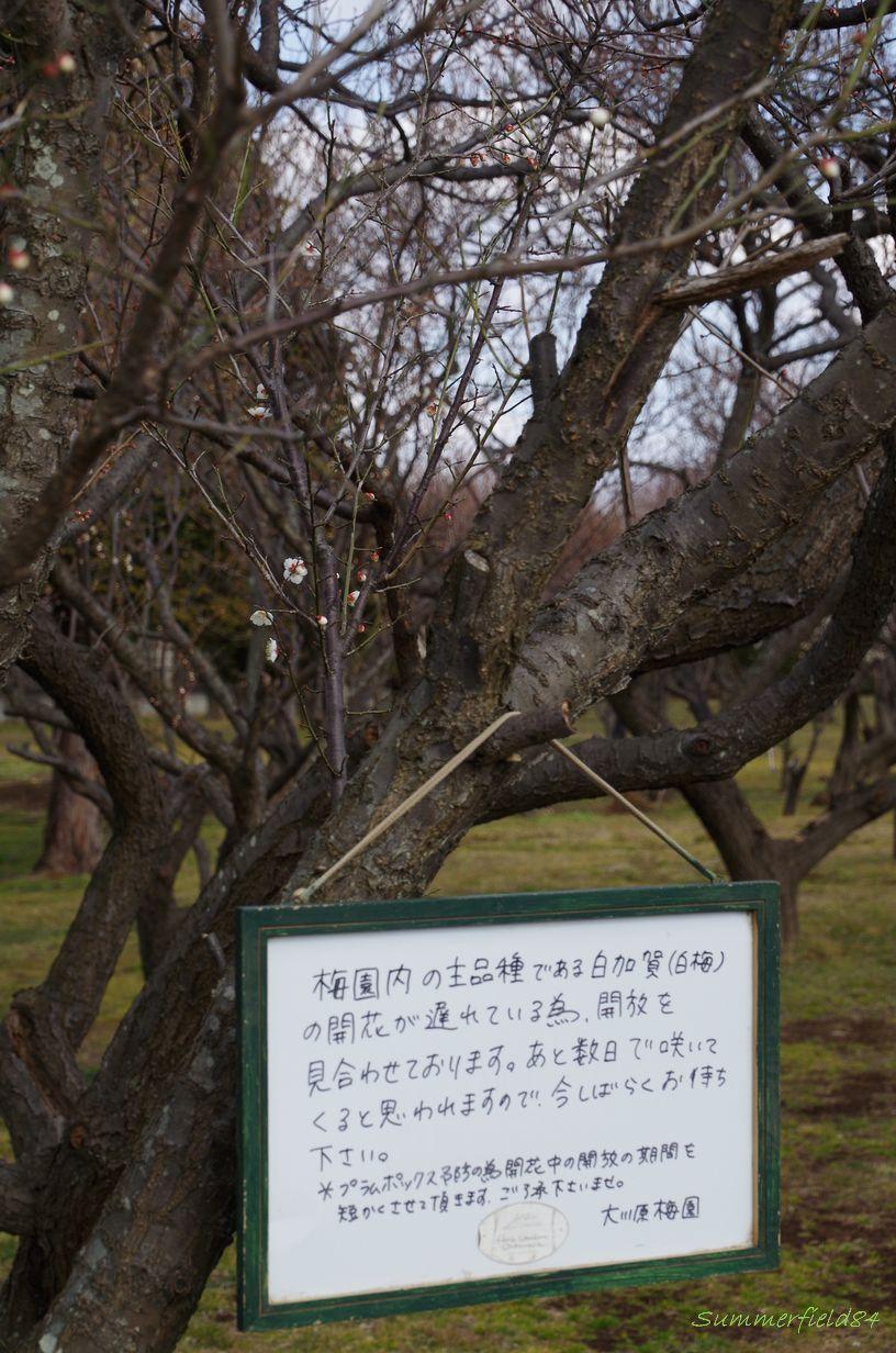 梅の花2015>遅れてます@大川原梅園
