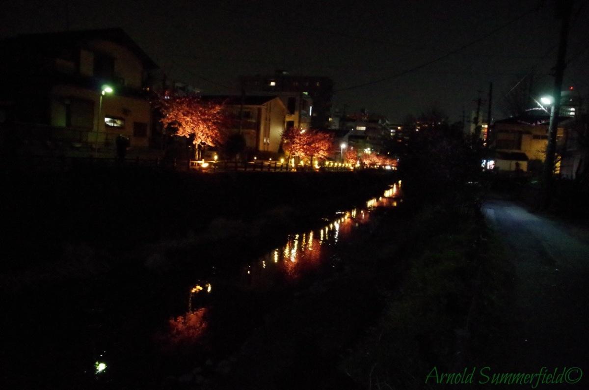 河津桜ライトアップ2015@千葉県松戸宿坂川