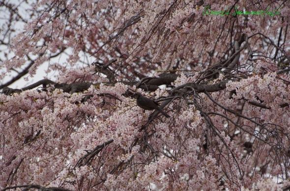 鳥さんon 妙行寺の枝垂れ桜