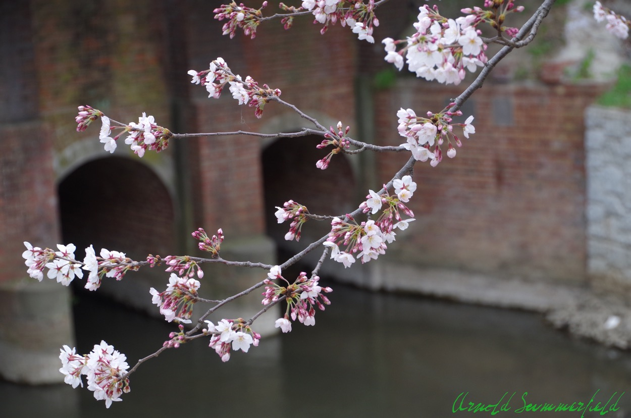 めがね橋の桜@松戸宿坂川