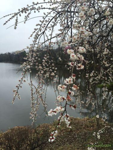 公園中央の枝垂れ梅
