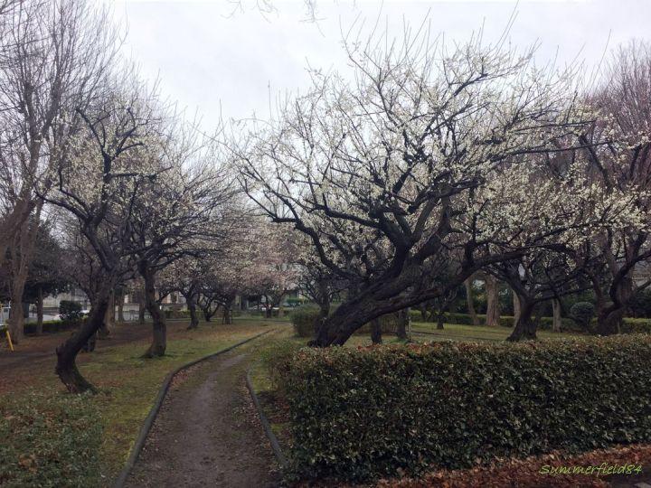 矢切駅側の梅園