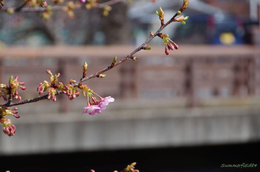 河津桜2015@千葉県松戸市 (1/6)