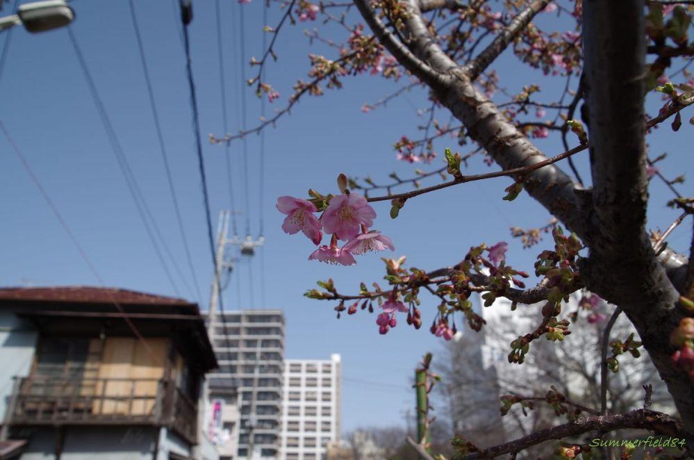 河津桜2015@千葉県松戸市 (5/6)