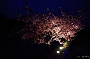 闇夜に浮かぶ満開の頼朝桜