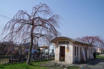 公衆便所近くの枝垂れ桜(3/22撮影)