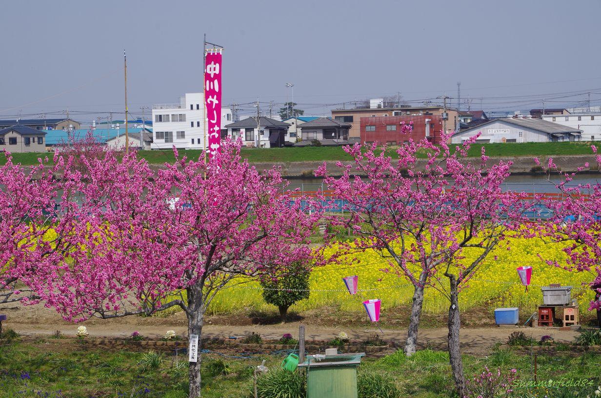 花桃と菜の花2015@中川やしおフラワーパーク