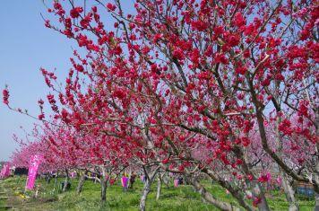 南側の真っ赤な花桃