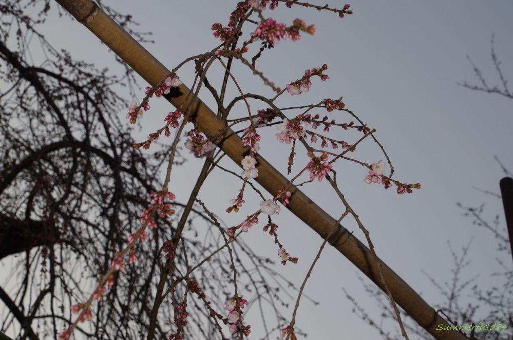 伏姫桜2015開花@真間山 弘法寺 (4/6)