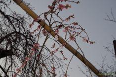 上の方は割と咲いていました。