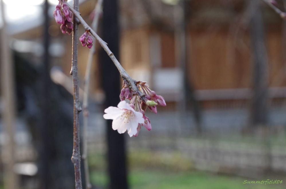 伏姫桜2015開花@真間山 弘法寺 (5/6)