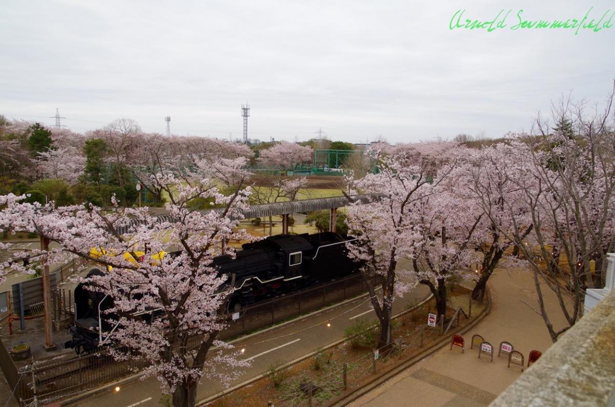 市制記念公園の桜@千葉県鎌ケ谷市
