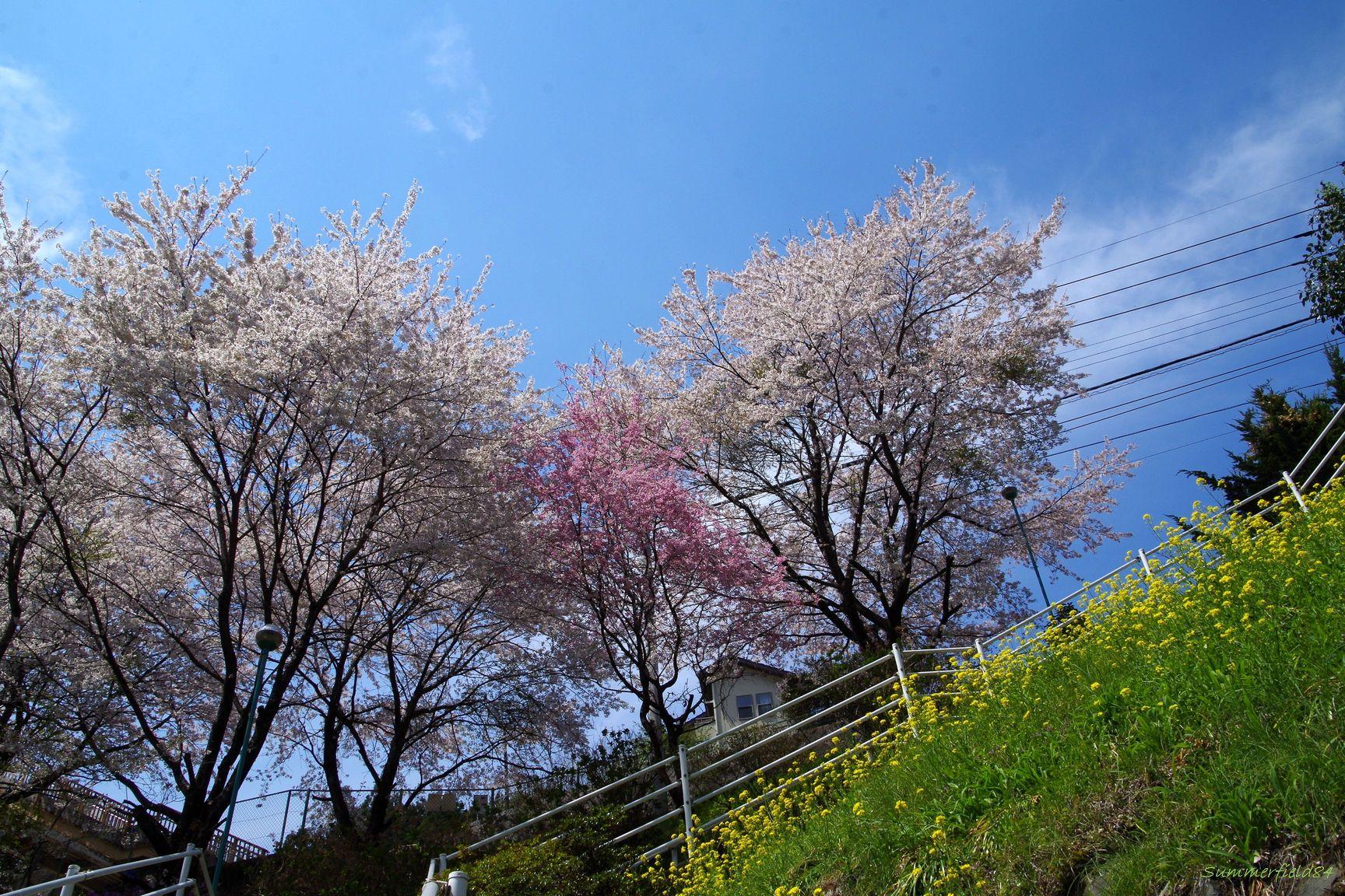 ちょっと遅い桜@わたらせ渓谷鐡道 本宿駅