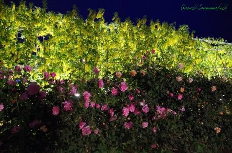 キバナ藤とバラの競演